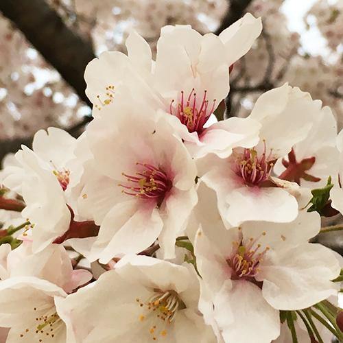 桜 満開!②