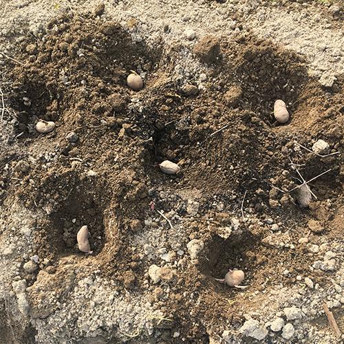 メークインの種イモを植え付ける ~2019年春~③