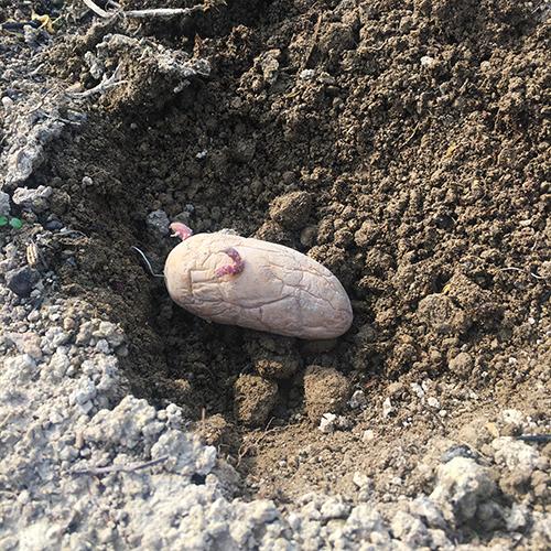 メークインの種イモを植え付ける ~2019年春~④