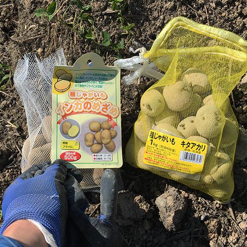 男爵ジャガイモの種イモを植え付ける ~2019年春~②
