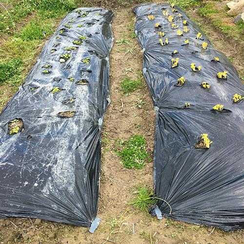 黒マルチの下からジャガイモの葉が伸びてきました④