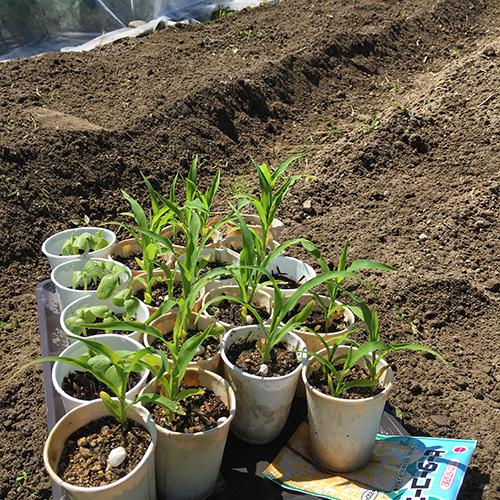 トウモロコシとキュウリの苗を植える ~2019年春~⑥