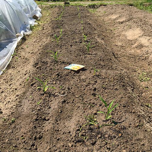 トウモロコシとキュウリの苗を植える ~2019年春~⑦