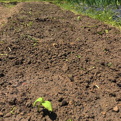 トウモロコシとキュウリの苗を植える ~2019年春~⑧