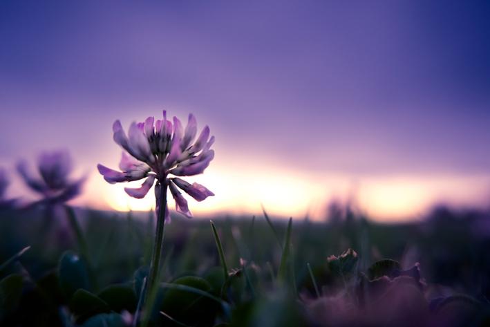 夜明けのレンゲ草