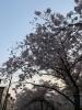 桜咲く 4