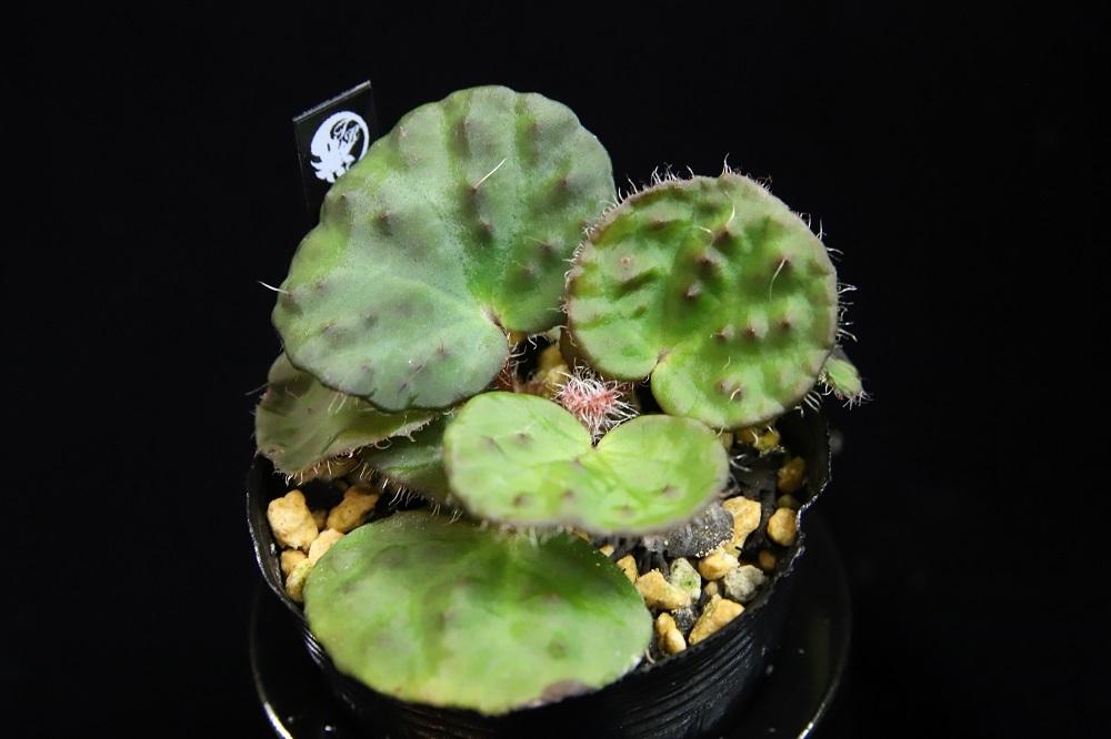 Begonia sp.nahangensis
