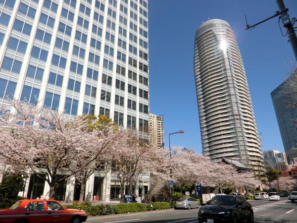 桜、散り始めた! 愛宕山!