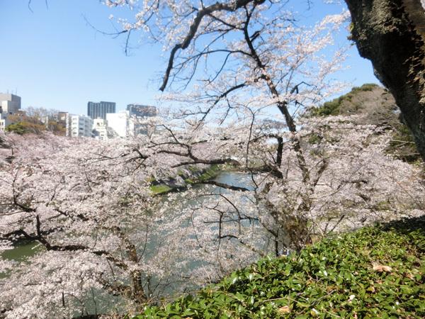 桜、満開! 北の丸公園と千鳥が淵!