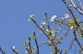 31スモモ開花