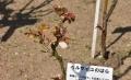 31ベルサイユのばら芽吹き
