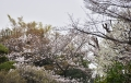 31桜3分咲き