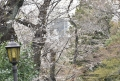 31坂ノ途中の桜