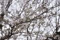 31厚みのある桜