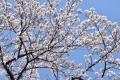 31たわわな桜