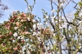 31桜の若木