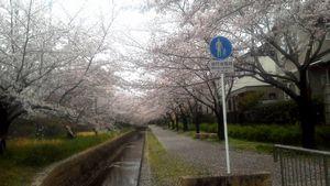 遊歩道の桜①b