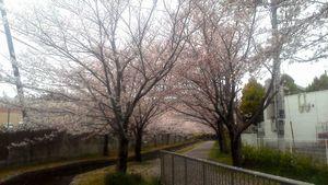 遊歩道の桜②b