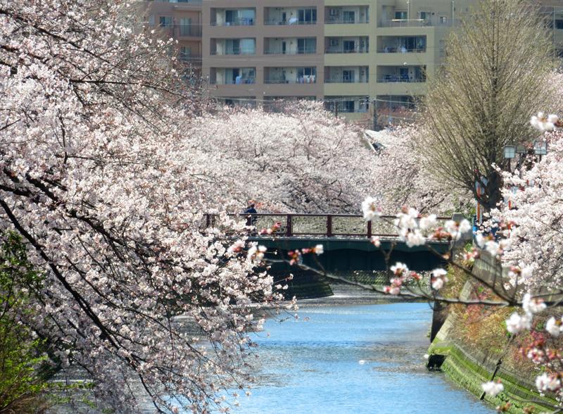 190405,大岡川桜1