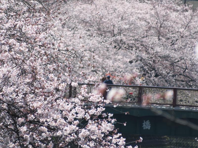 190405,大岡川桜2
