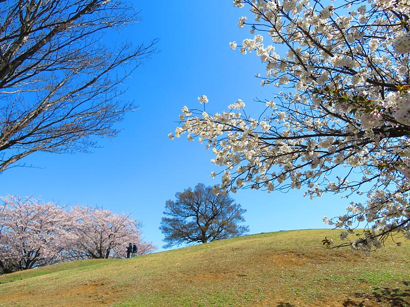 190404,榎の丘と桜2