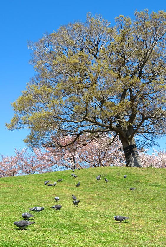 190404,榎の丘と桜3