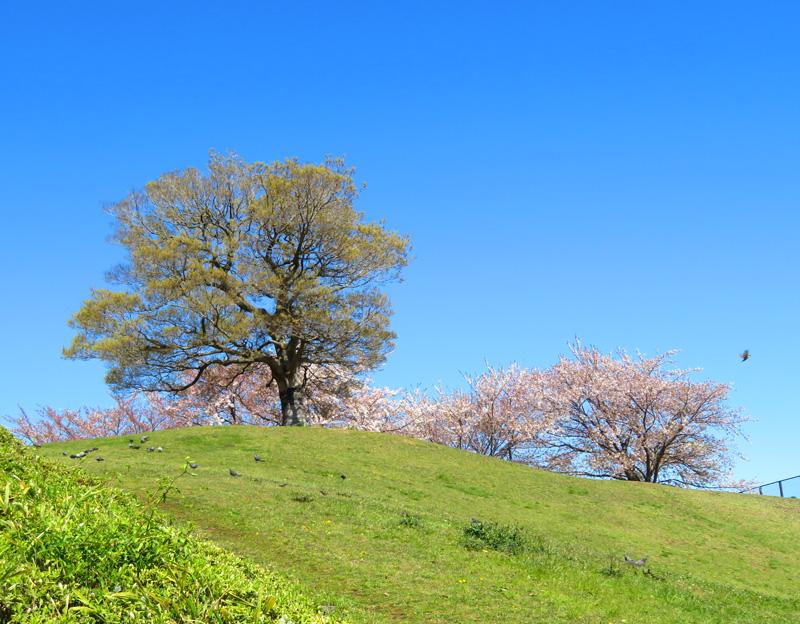 190404,榎の丘と桜4