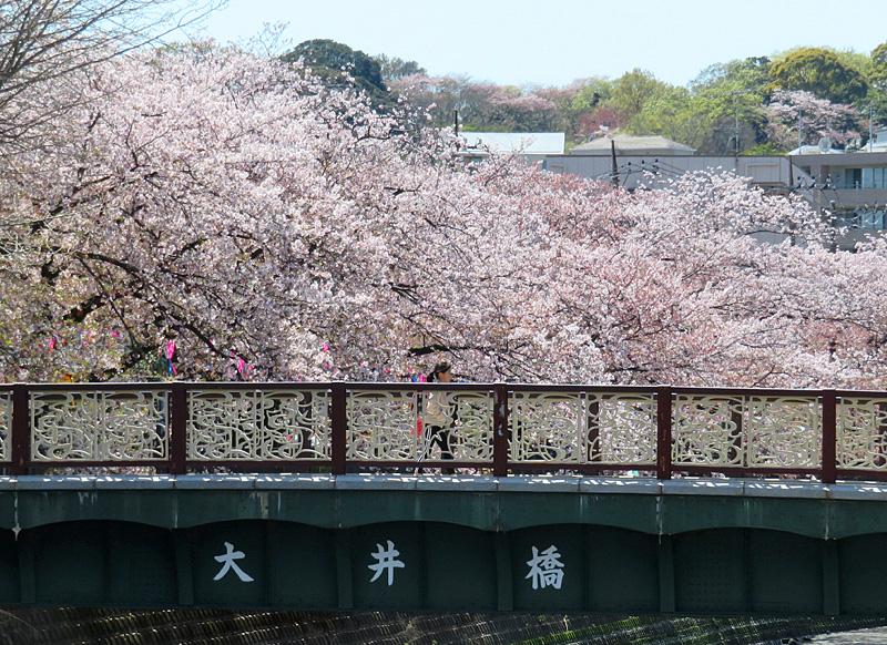 190405,大岡川桜2,1