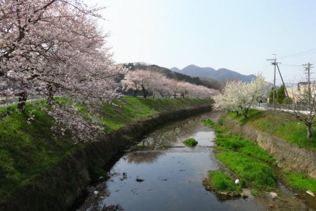 高谷川と柏原川の合流付近の桜