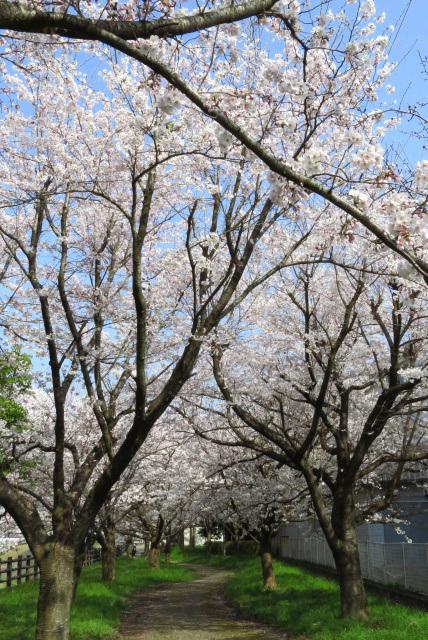 高谷川の桜