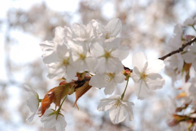 桜の花2019