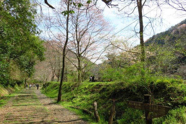 親水公園付近の桜