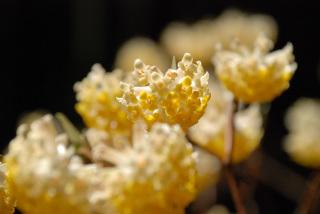 空山_ミツマタの花