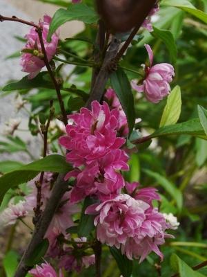 庭桜・開花後期。