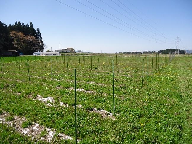 シオデ畑1