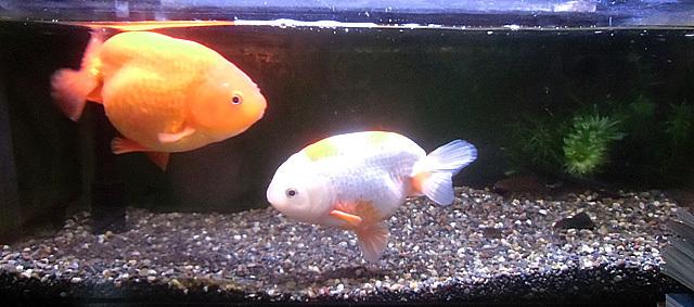 我が家の金魚