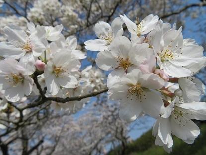 桜2019-6
