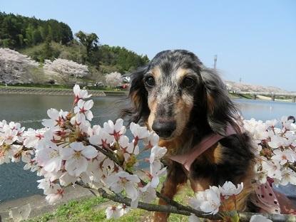 桜と実結2019