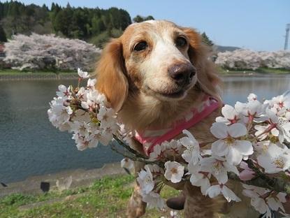 桜と笑花2019