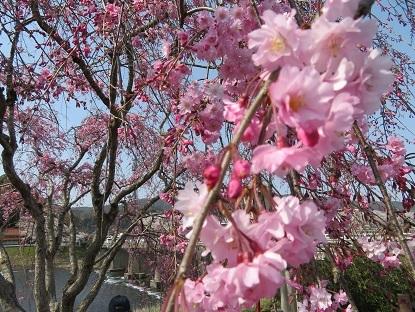 枝垂桜2019