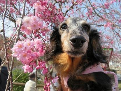枝垂桜と実結2019