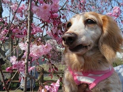 枝垂桜と笑花2019