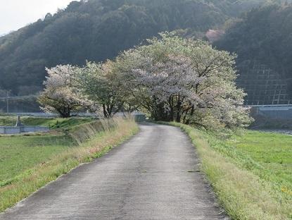お散歩道の山桜2019