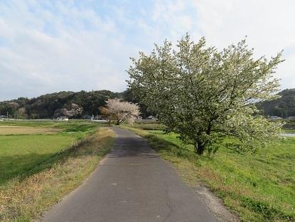 お散歩道の山桜2019-2