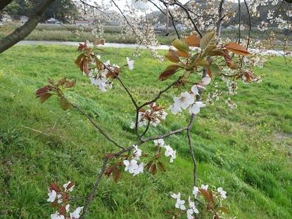 山桜2019-6