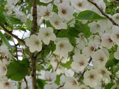 山桜2019-5