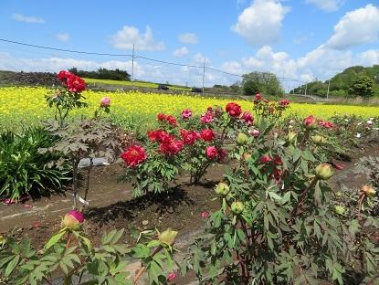 牡丹と菜の花2019