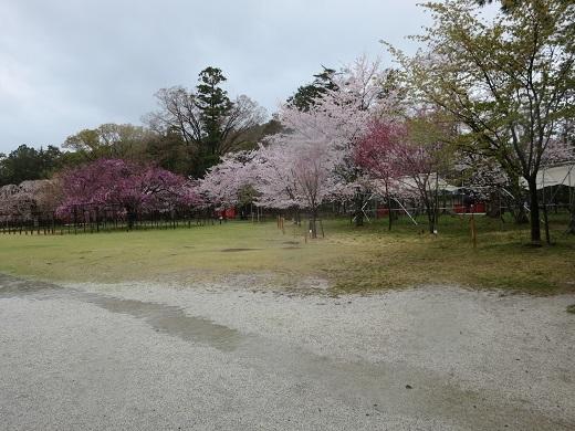 上賀茂神社のサクラ