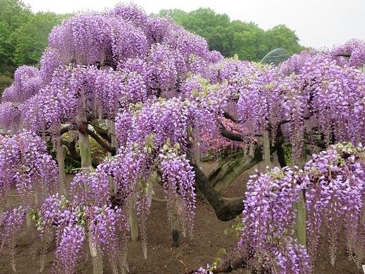 紫の藤は見ごろ