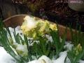 珍しい4月の雪